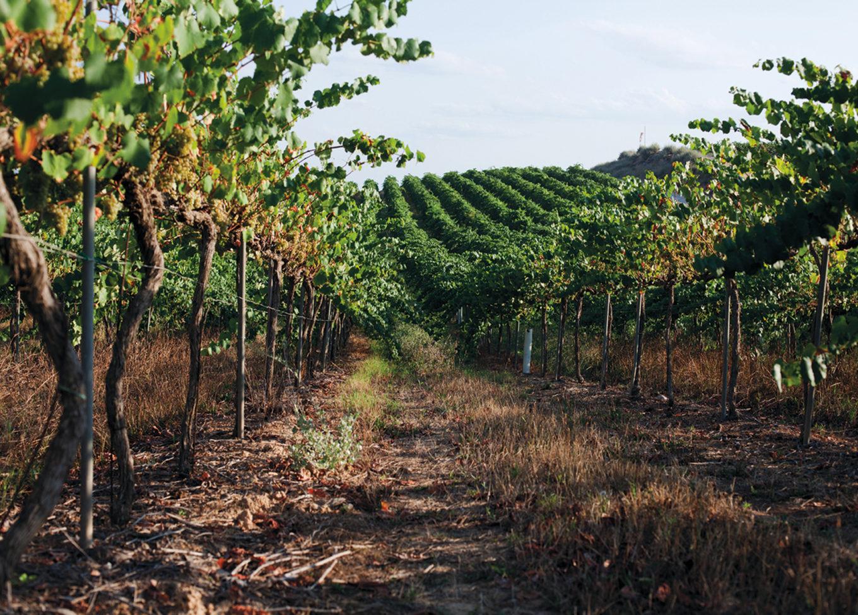 W ojczyźnie rześkiej cavy - wina producenta Codorníu.